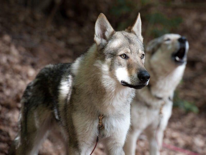 No escojas un Perro Lobo Checoslovaco
