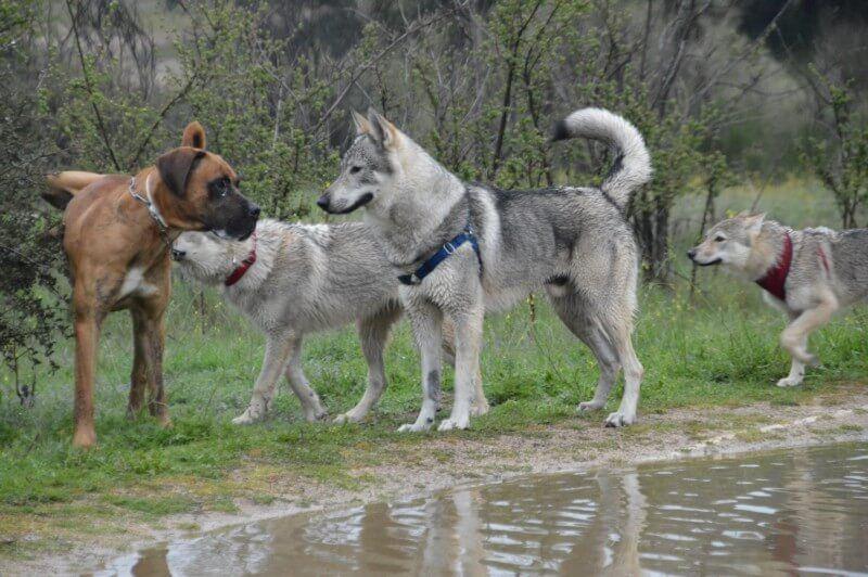 perros lobos checoslovacos conociendo a un perro normal
