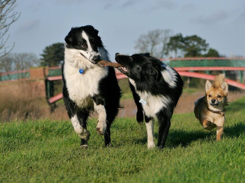 border collie caracter