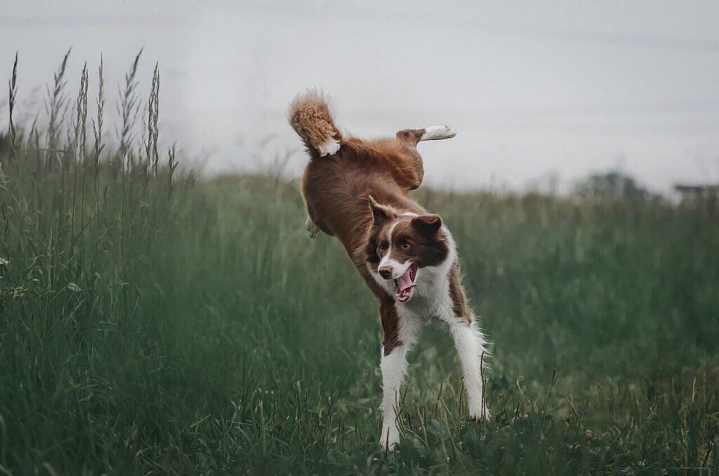 border collie saltando
