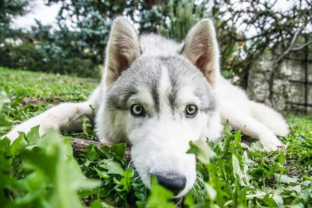 husky estirado