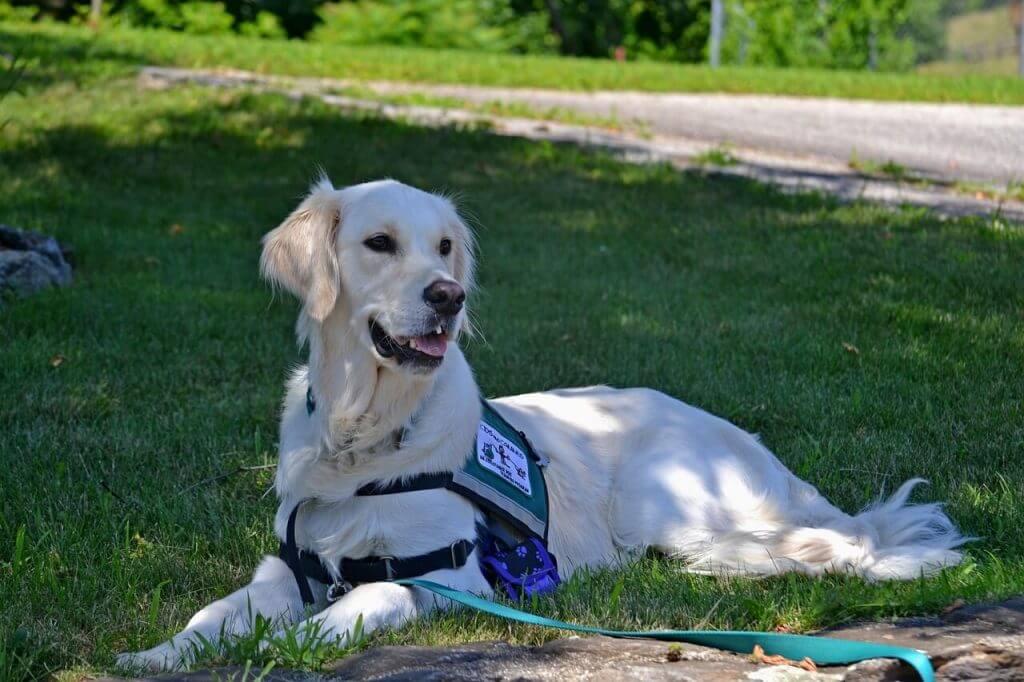 golden retriever perro guia