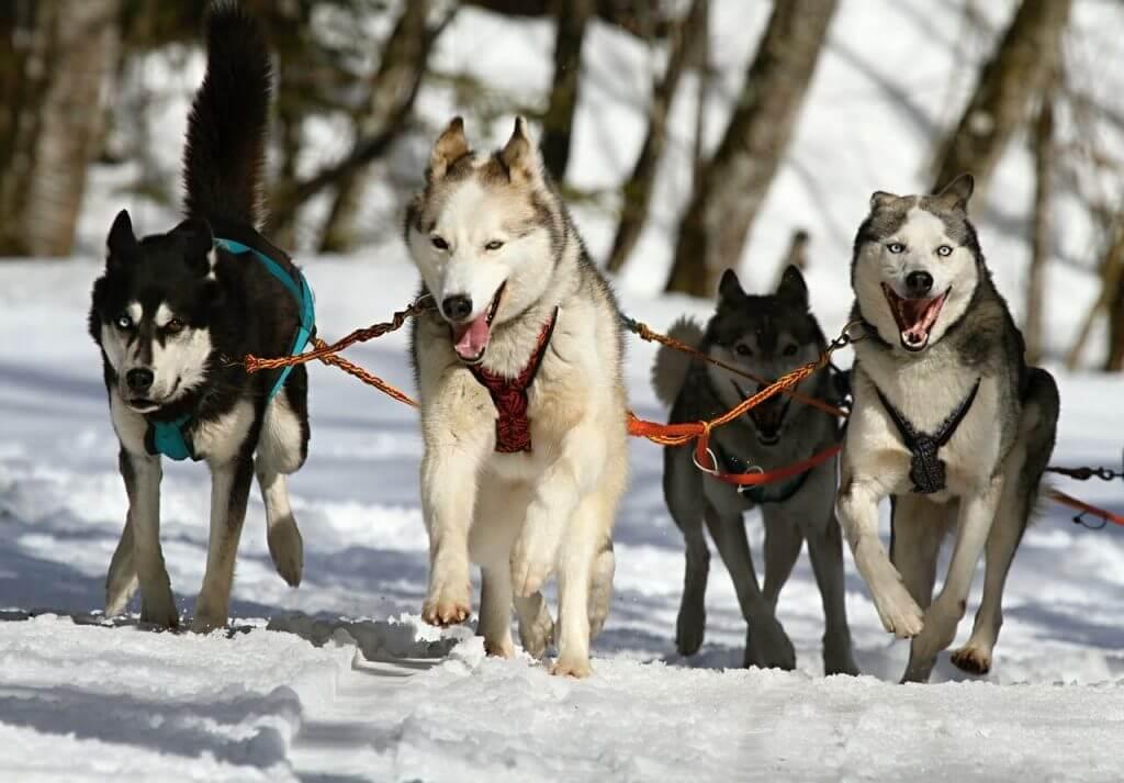 perros nordicos de trineo husky