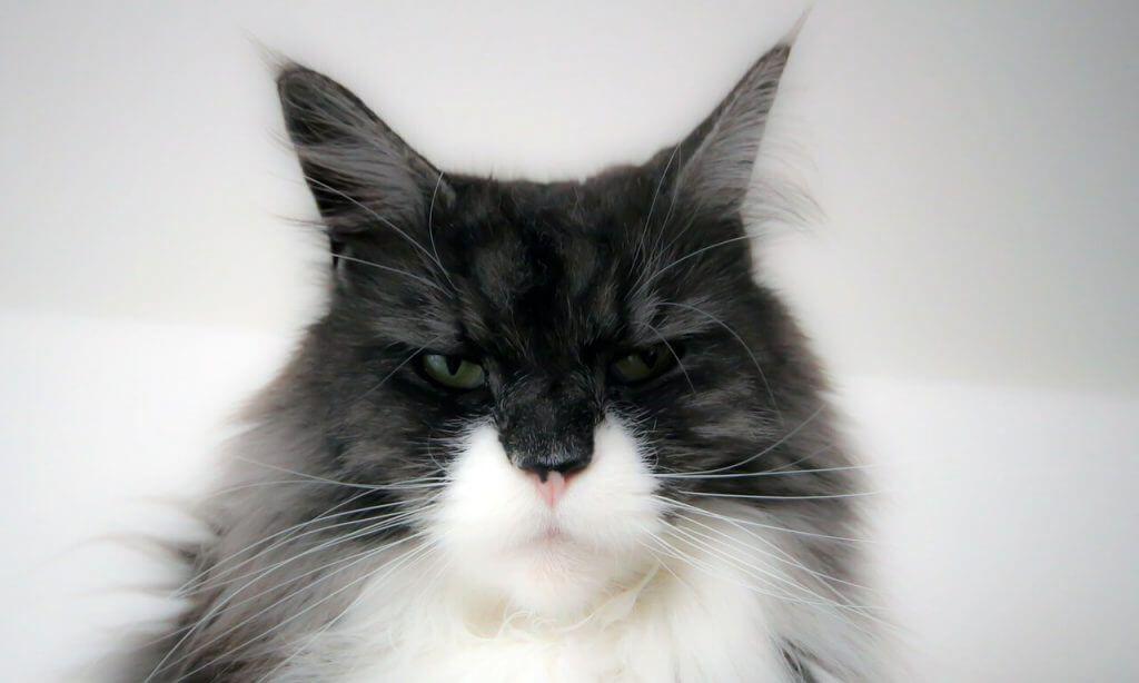 gato maine coon negro y blanco
